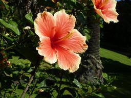 auckland hibiscus