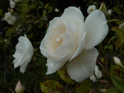 top 5 rose